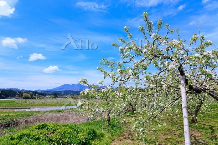 りんごの花咲く農園