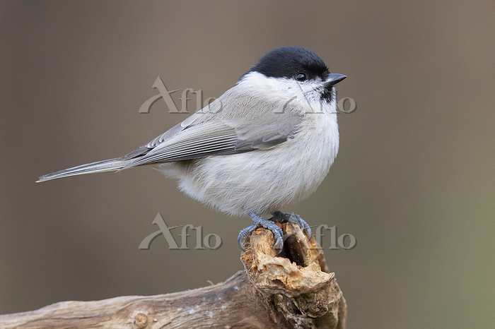 Marsh Tit (Poecile palustris),・・・