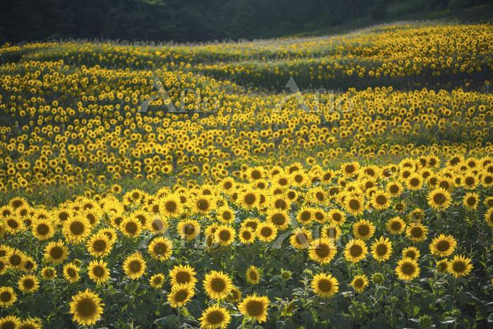福島県 夏の三ノ倉高原ひまわり畑