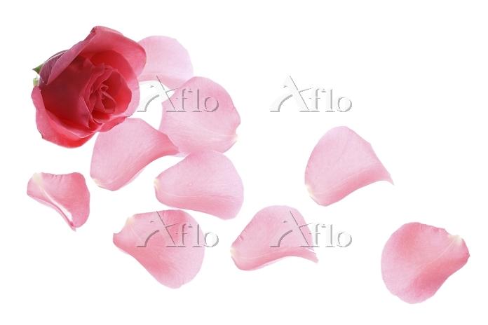 薔薇の花びら