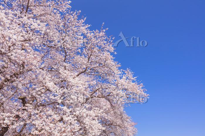 埼玉県 桜と青空