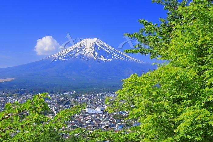 山梨県 新緑の新倉山浅間公園と富士山