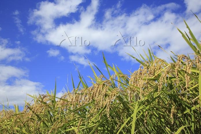 宮城県 稲の雲