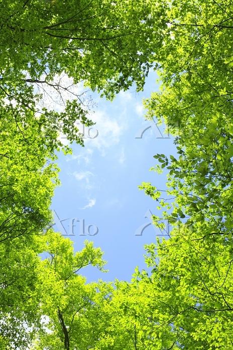 秋田県 岳岱ブナ林 新緑と青空