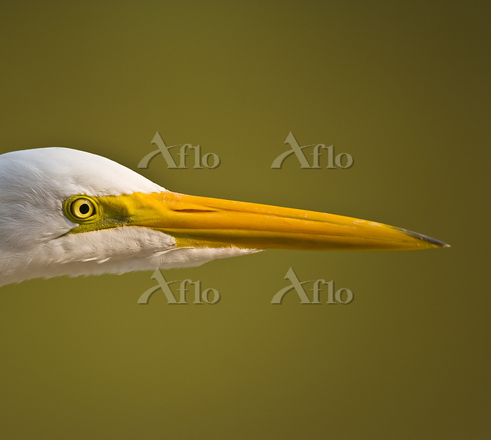 Portrait of a Great Egret in P・・・