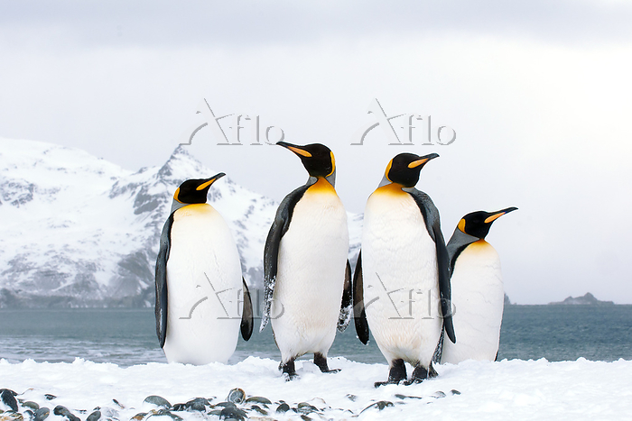 King penguins (Aptenodytes pat・・・