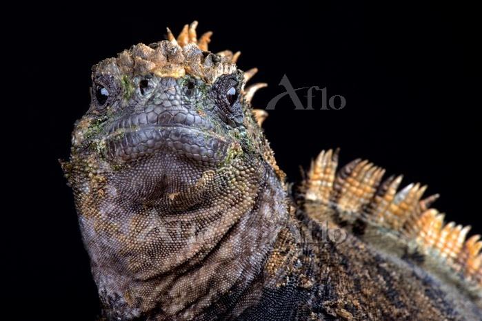 Santa Cruz marine iguana (Ambl・・・