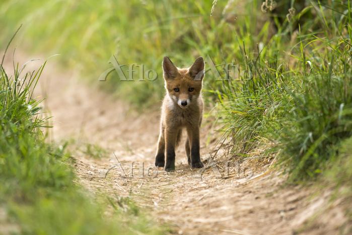 red fox, cub, (Vulpes vulpes) ・・・