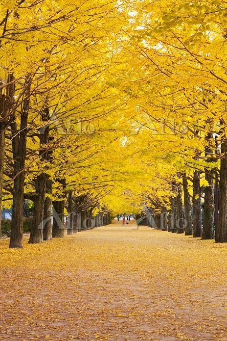 東京都 国営昭和記念公園の銀杏並木