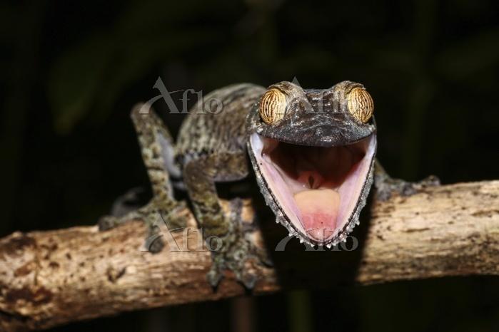 Flat-tailed gecko (Uroplatus f・・・