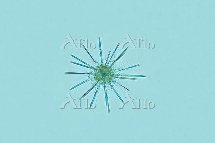 放散虫類 海産 プランクトン 倍率40