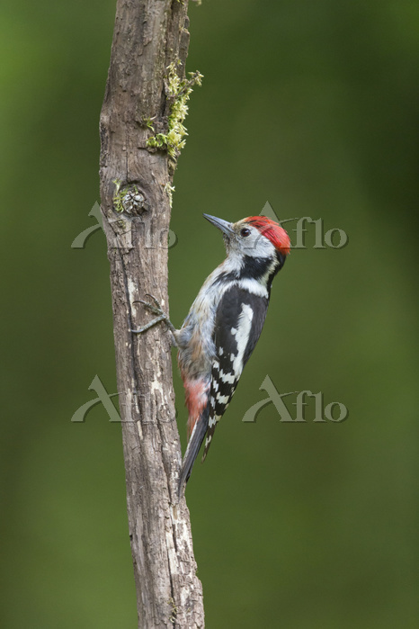 Middle Spotted Woodpecker (Den・・・