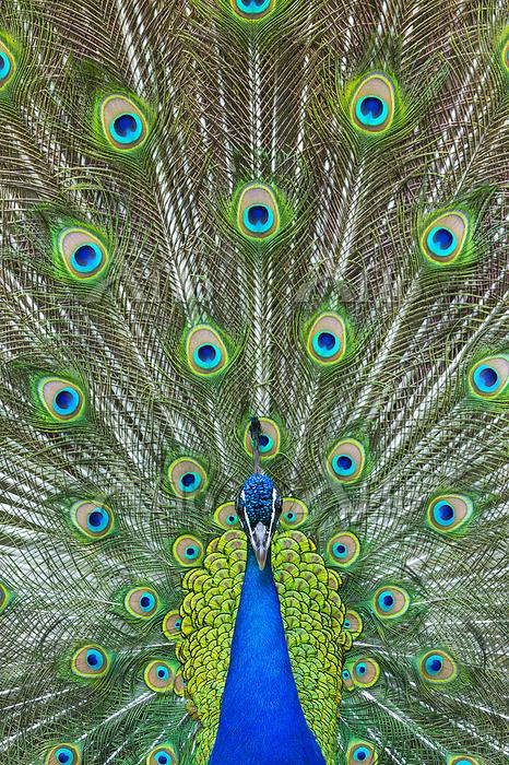 Male Indian Peafowl displaying・・・