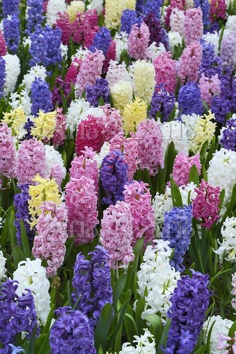 ヒヤシンスの花畑
