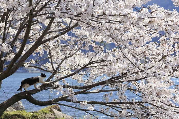 滋賀県 琵琶湖の猫