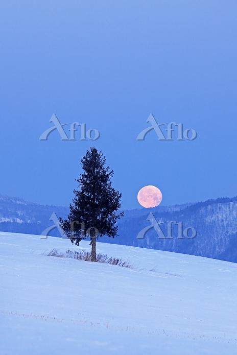 北海道 丘の上の一本松と早朝の沈み行く月 美瑛町