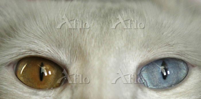 異なる色の目をもつ猫