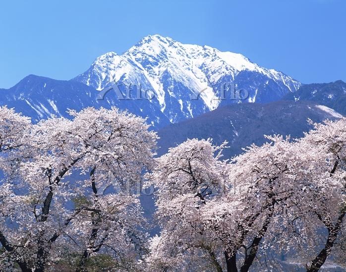 山梨県 桜と南アルプス