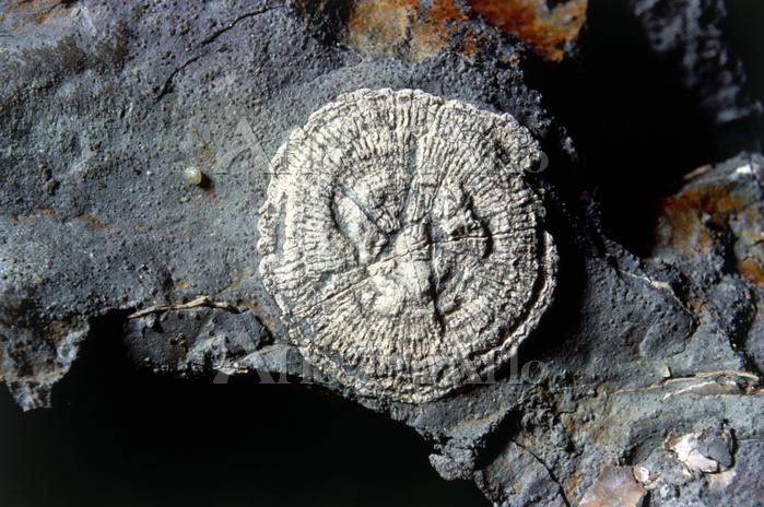 サンゴの化石 イギリス産出