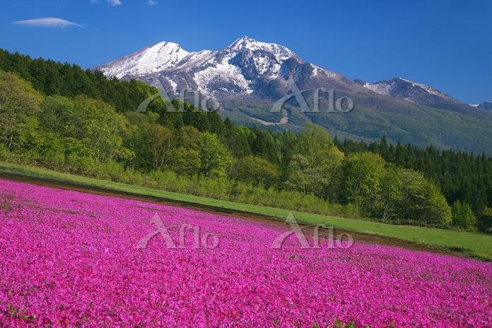 長野県 芝桜咲く黒姫高原より妙高山 越後富士