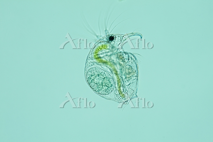 ゾウミジンコ 淡水産 甲殻類  倍率40