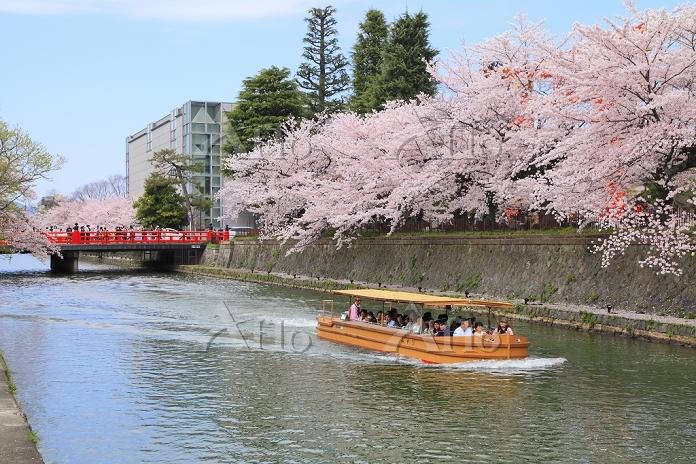 京都府 桜咲く岡崎疎水と十石舟
