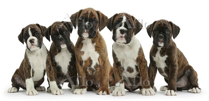 Five Boxer puppies, 8 weeks. P・・・