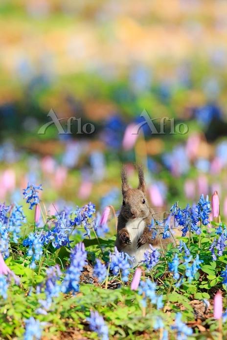 北海道 エゾリス エゾエンゴサクとカタクリの花