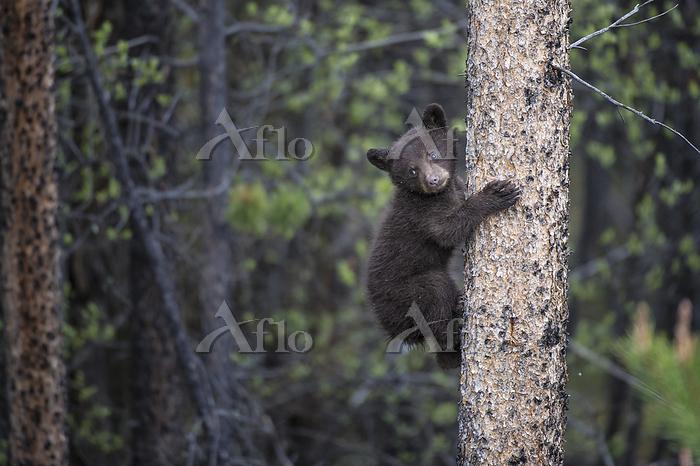 Black Bear, Ursus americanus C・・・