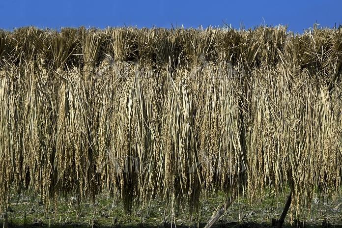 刈取取られた稲の天日干し