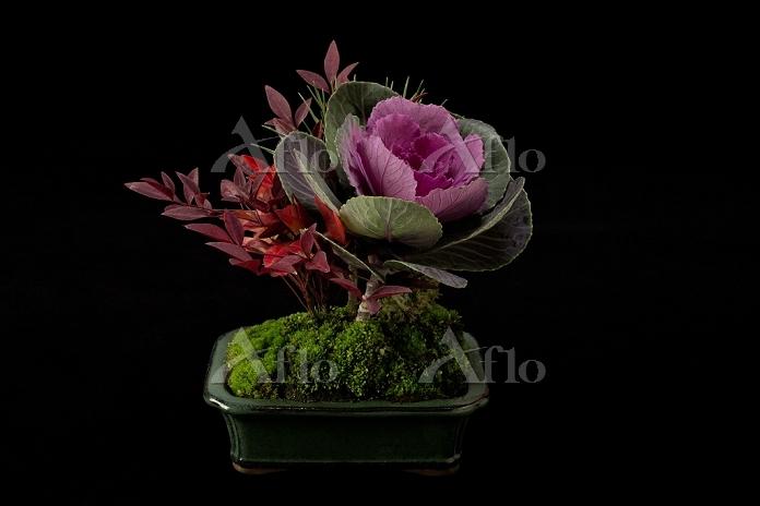 葉ボタンの盆栽