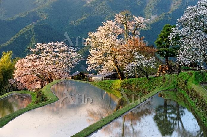 三重県 津市 朝日に染まる三多気の桜