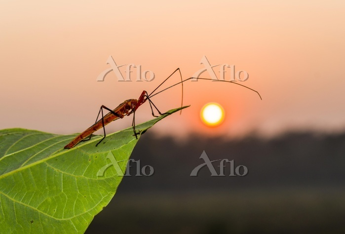 Red Cotton Bug (Dysdercus cing・・・