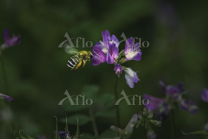 ミツバチと蓮華2