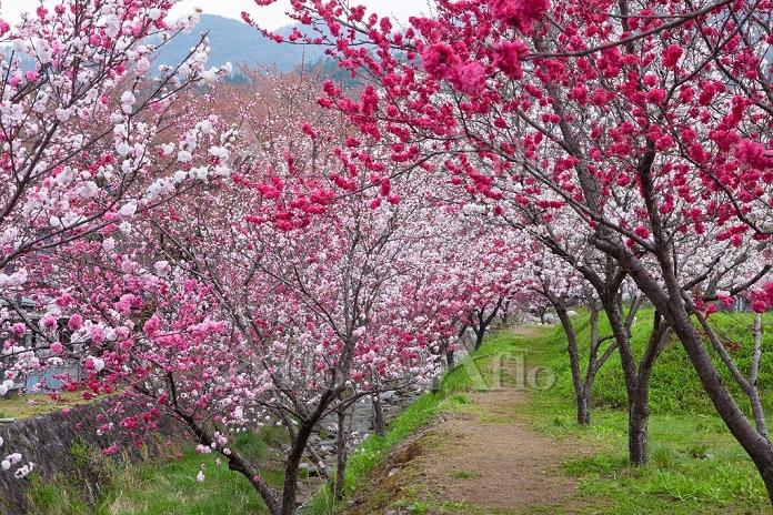 長野県 ハナモモの花咲く昼神温泉の道