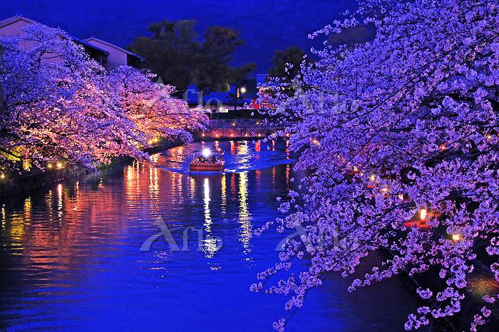 京都府 京都市  岡崎疎水の桜  十石舟めぐり  夜景