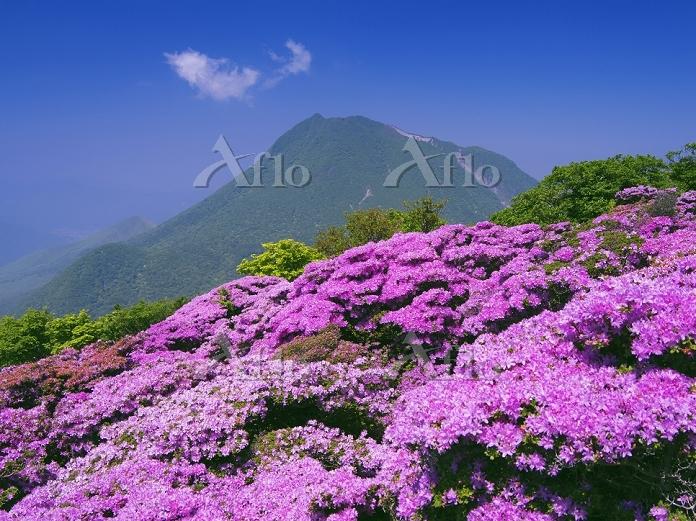 大分県 ミヤマキリシマ咲く鶴見岳より由布岳(豊後富士)