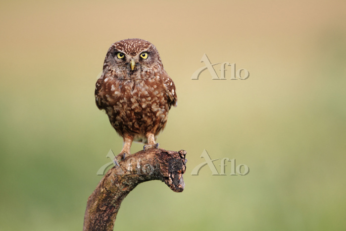 Little Owl (Athene noctua) on ・・・