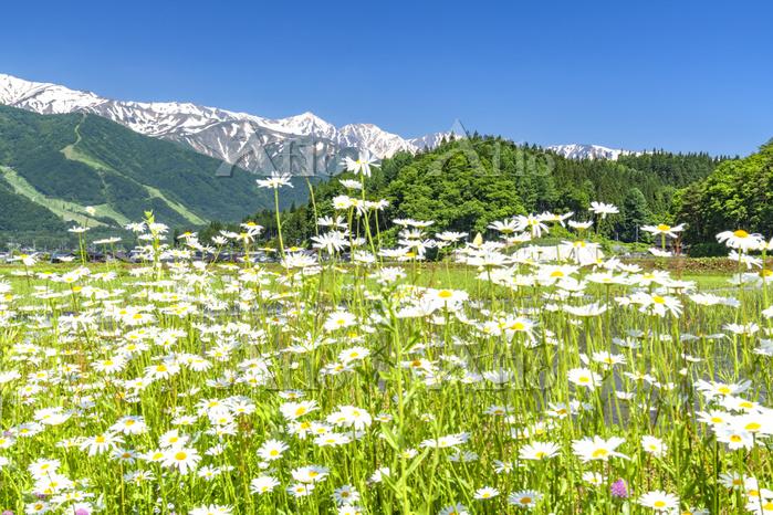 長野県 マーガレットと白馬三山