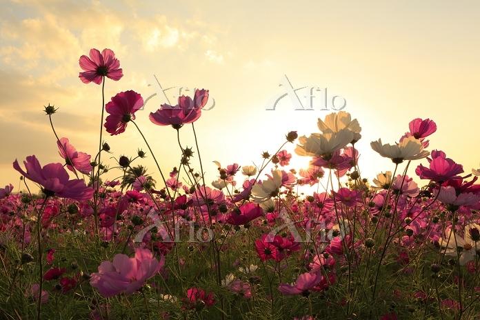 コスモスの花と夕日