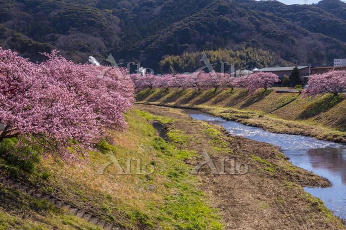 静岡県 南伊豆町 青野川とみなみの桜並木(河津桜)