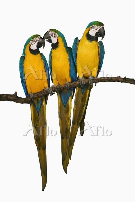 Blue and Yellow/Gold Macaw. (A・・・