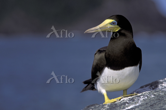 Brown booby (Sula leucogaster)・・・