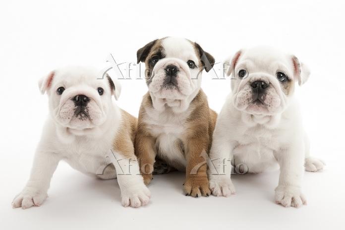 ブルドッグ 3頭の仔犬