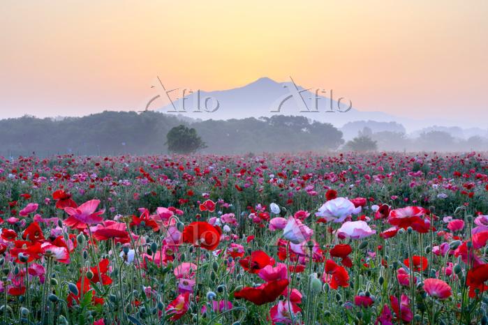 茨城県 筑波山とポピー