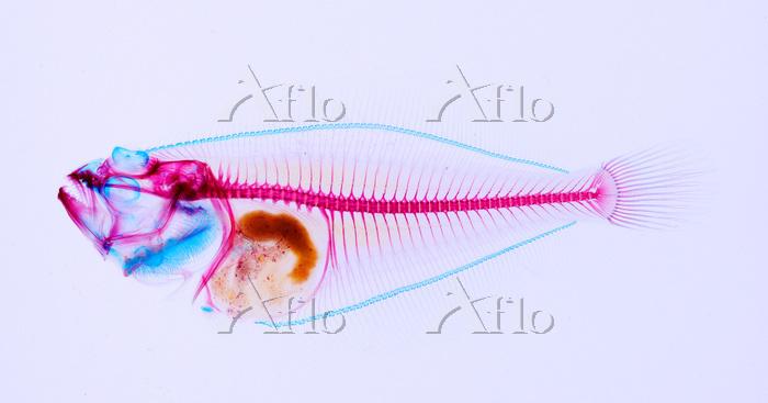 ヒラメ 透明骨格標本