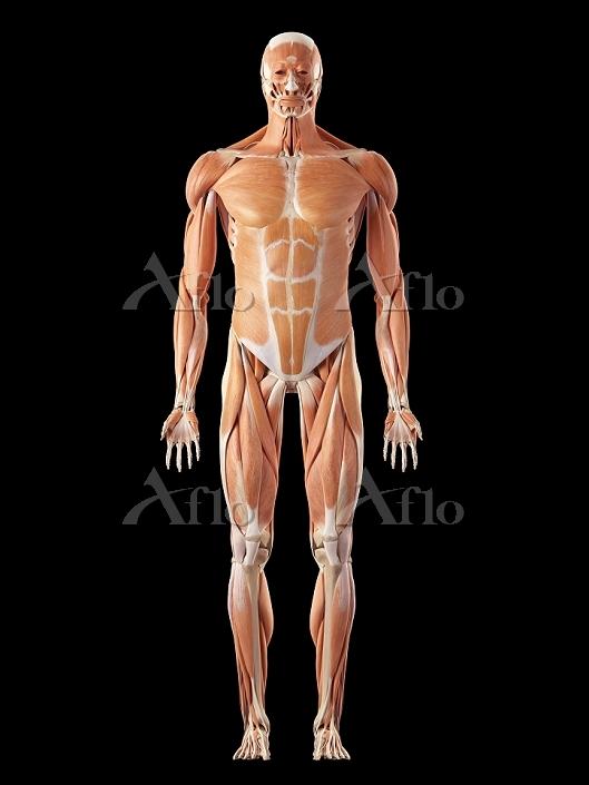 イラスト 人体 筋肉