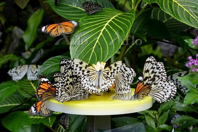 昆虫館 チョウたちが蜜を吸う