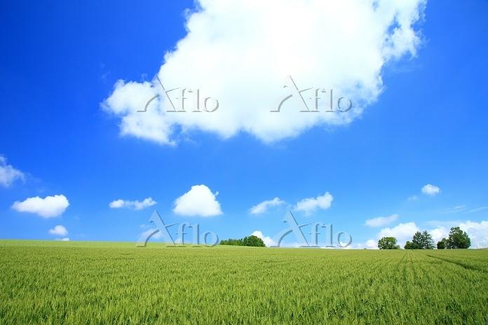 北海道 美瑛町 麦畑