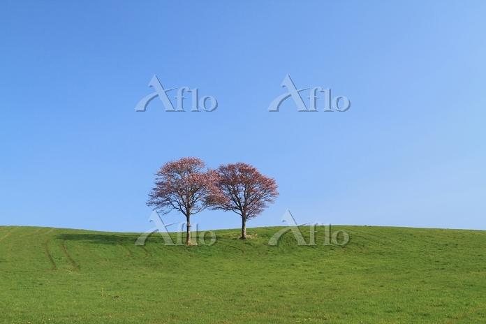 北海道 標茶町 親子エゾ山桜